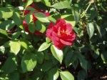 Hot Cocoa Idaho Rose Garden